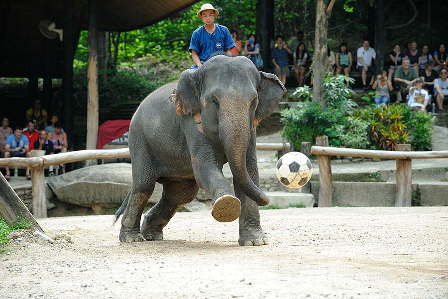 ชมการแข่งขันช้างเตะฟุตบอล