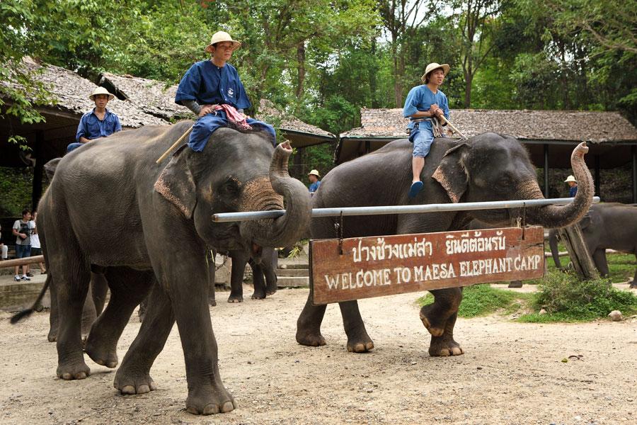 บัตรเข้าชมปางช้างแม่สาและชมการแสดงช้าง
